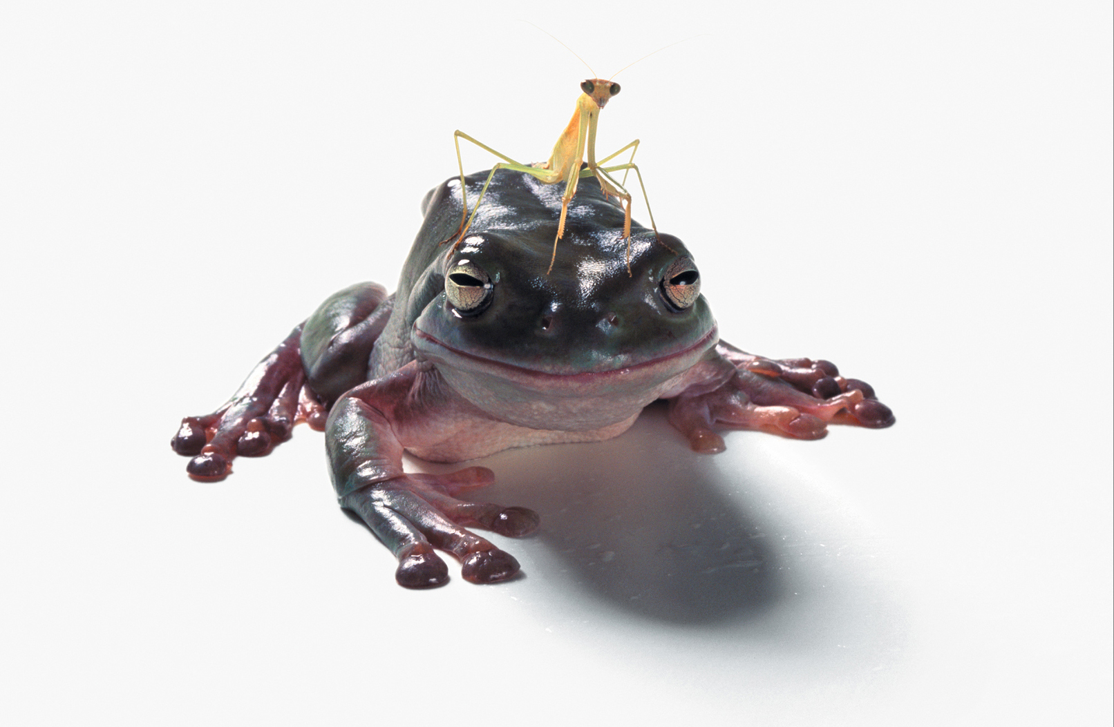 A praying mantis sits on the head of a frog