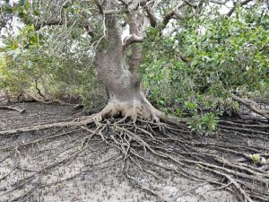 A photo of a tree with pronounced roots